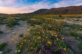 anza borrego wildflowers anza borrego desert state park wildflower super bloom travel