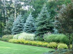 fat albert colorado blue spruce garden pinterest blue spruce