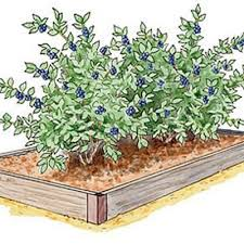 Advantage Of Raised Garden Beds - 44 best guild rhubarb images on pinterest vegetable garden