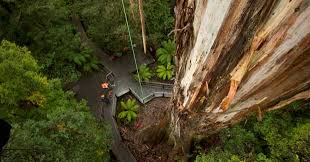 australia s tallest trees australian geographic