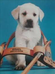 Sponsor A Puppy For The Blind Non Profit Israel Guide Dog Center For The Blind Jchoice Org