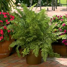 a shopper u0027s guide to buying outdoor ferns costa farms