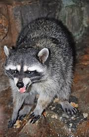 Raccoons In Backyard How To Get Rid Of Raccoons With A Motion Activated Sprinkler My