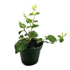 Fragrant Potted Plants Amazon Com 9greenbox Jasmine Maid Of Orleans Plant 4