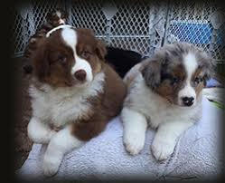 australian shepherd kennel club akc asca kinetic australian shepherds puppies for conformation