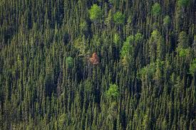 what s killing canada s pine trees bloomberg