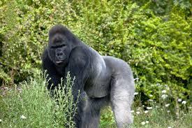 images gorilla species u0026 subspecies