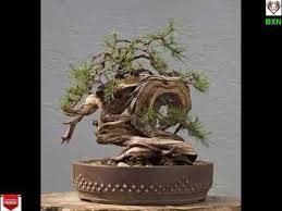 bonsai trees indoor bonsai tree bonsai trees for
