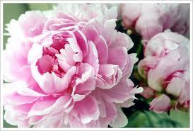 bulk peonies bulk wholesale flowers wedding flowers peony pink
