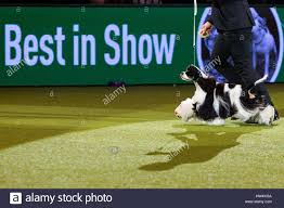 australian shepherd crufts 2015 crufts breed stock photos u0026 crufts breed stock images alamy