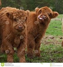 two cute calf of highland cattle in sweden stock photo image