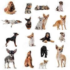 australian shepherd with short hair short hair dog stock photos u0026 pictures royalty free short hair