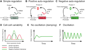 ultradian oscillations and pulses coordinating cellular responses