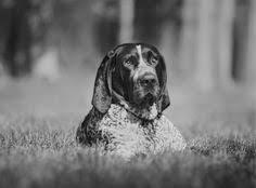 bluetick coonhound stuffed animal kai u0027s u0027poupon u0027 shot bluetick coonhound life of kai