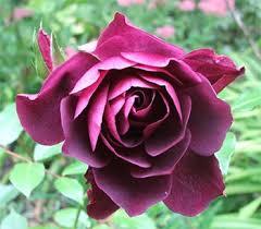 burgundy roses burgundy iceberg