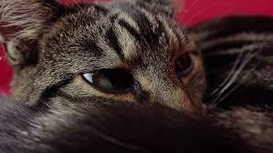 The Red Sofa Cat Lying On The Red Sofa Close Up Stock Footage Video 13483802