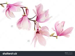 Flowers On - beautiful pink magnolia flowers on a tree branch isolated