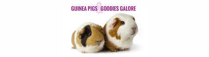 guinea pig refuge brisbane the cavy cottage