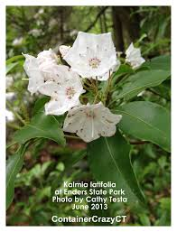 kalmia latifolia mountain laurels u2013 if you want blooms u2013 give it some sun