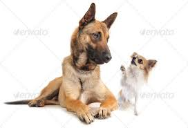 belgian sheepdog guard dog malinois and chihuahua belgian shepherd guard dog animal