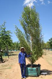 gondwana wholesale native plant nursery australia best 25 deciduous trees ideas on pinterest natural fence when