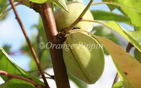 Online Fruit Trees For Sale - ingrid almond trees for sale buy online european delivery