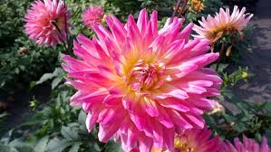 dahlias flowers dahlias flowers 8 wallpapers13