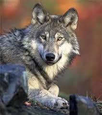 australian shepherd vs husky difference between wolf and husky difference between