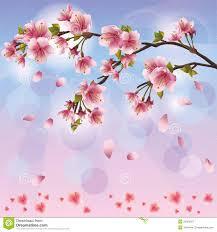 sakura blossom japanese cherry tree royalty free stock