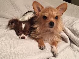 long haired chi and her brother the chorkie chihuahua