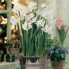 paperwhite flowers zyverden paperwhite kit bulbs with artisan decorative planter