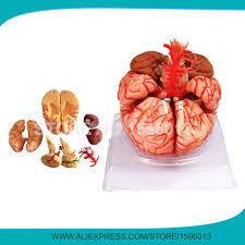 si e des motions dans le cerveau avancée 9 part cerveau modèle avec l ère modèle anatomique du