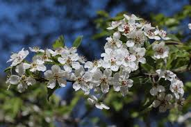 chanticleer callery pear flowering tree