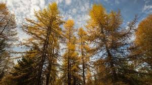 to save forests cut some trees scientists say science aaas