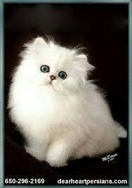 hukum memandulkan kucing enis kucing persia jenis kucing anggora persia termahal medium dan