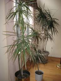 indoor house plants awesome tall indoor plant 42 large indoor planters for trees bird