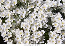 Tree With Little White Flowers - clustered flowers stock photos u0026 clustered flowers stock images