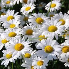 garden daisy varieties diy