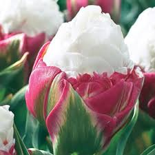 tulip daffodil and other bulbs for sale at spring hill