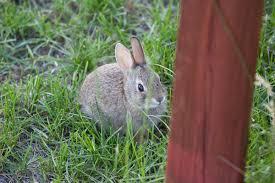 cute baby bunnies my yard 5 28 09