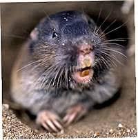Moles Blind Dirt Doctor Library Topics