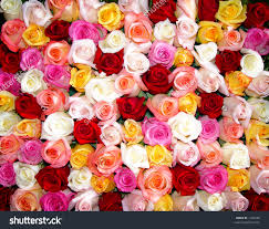 multicolored roses business home pictures of multicolored roses business home
