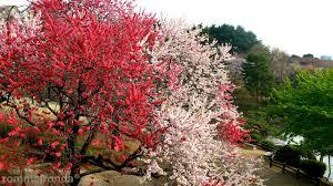 miscellaneous shinjuku tree cherry spring blossom japanese pink