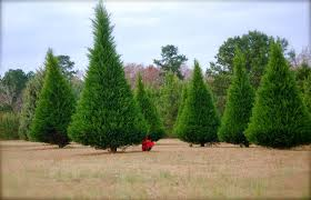 attractive clarks christmas tree farm part 6 clarku0027s