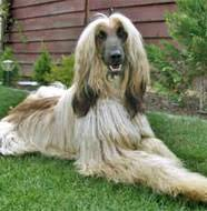 afghan hound lifespan afghan hound pictures information training grooming and puppies