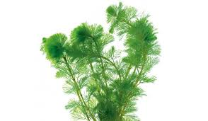 Aquascape Aquarium Plants Details About Carpeting Carpet Live Aquarium Plants Aquariums