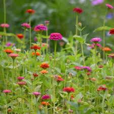 zinnia flowers zinnia flower seeds american