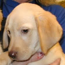 havanese vs bichon frise pet ranch puppies