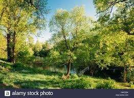 green willow tree in summer park forest near river spring nature