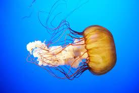 top five most impressive jellyfish u2022 scuba diver life